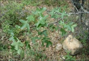 Acer monspessulanum2