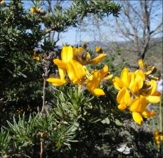 Adenocarpus hispanicus1