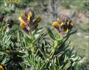 Adenocarpus hispanicus3