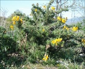 Adenocarpus hispanicus4