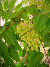 Ailanthus altissima2