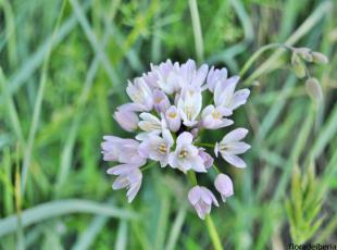 Allium roseum (1)