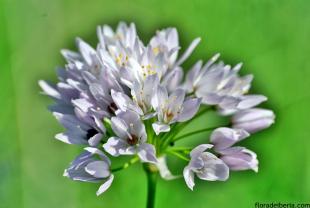 Allium roseum (3)