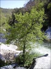Alnus glutinosa8