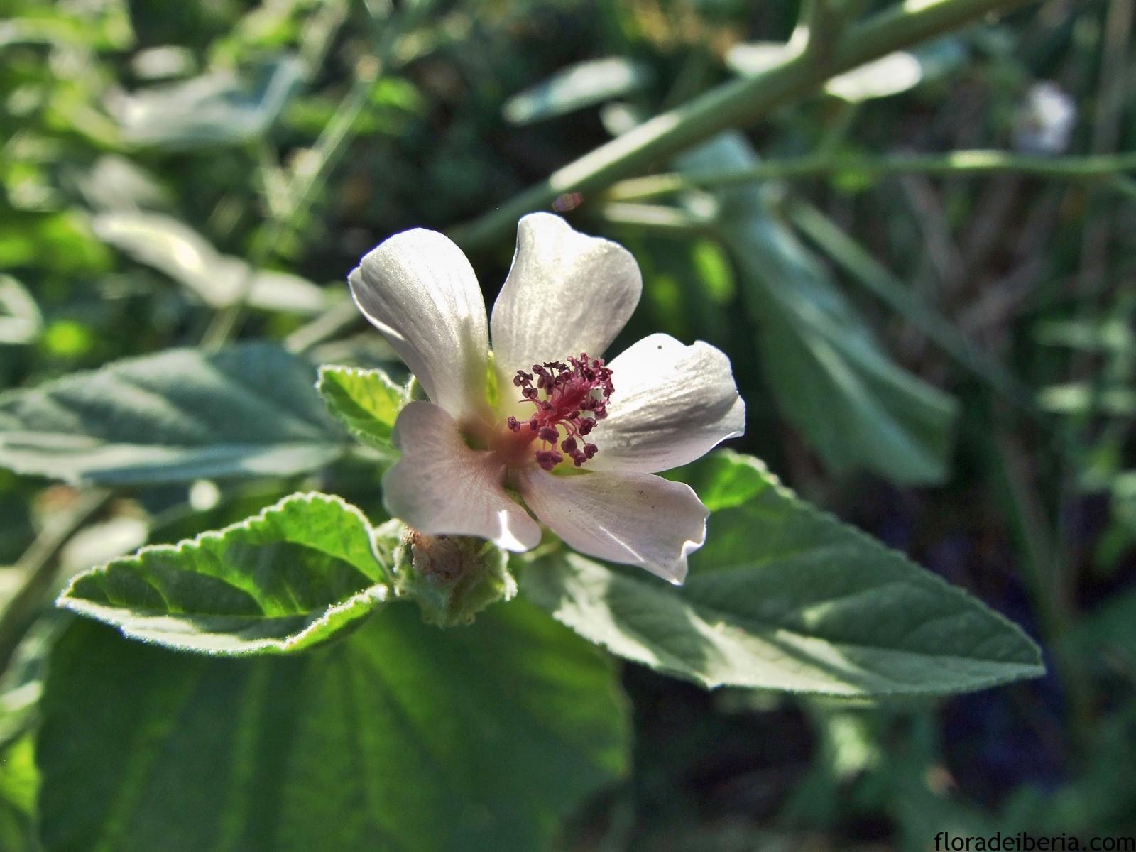 Althaeae officinalis, Malvavisco