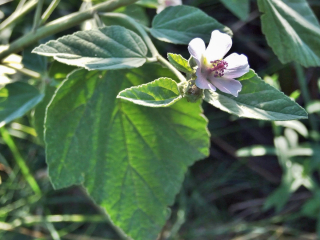 Althaea-officinalis1
