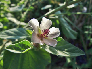 Althaea-officinalis2
