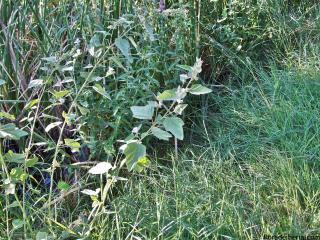 Althaea-officinalis3