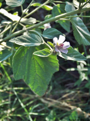 Althaea-officinalis1