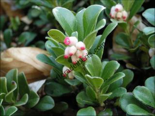 Arctostaphylos uva-ursi1
