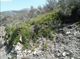Arctostaphylos uva-ursi2