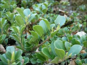 Arctostaphylos uva-ursi3