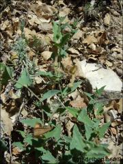 Aristolochia pistolochia1