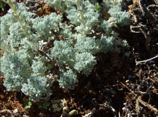 Artemisia pedemontana4