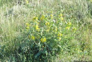 Astragalus alopecuroides1