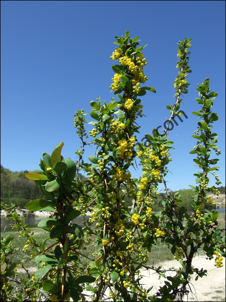Berberis hispanica1