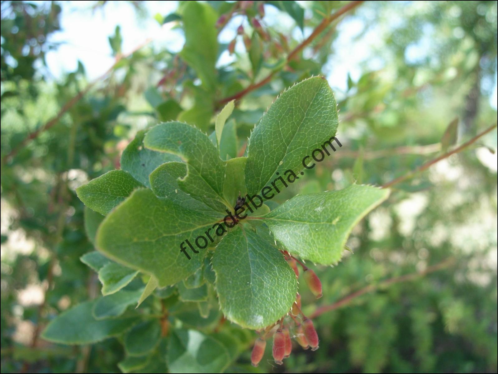 Berberis vulgaris2