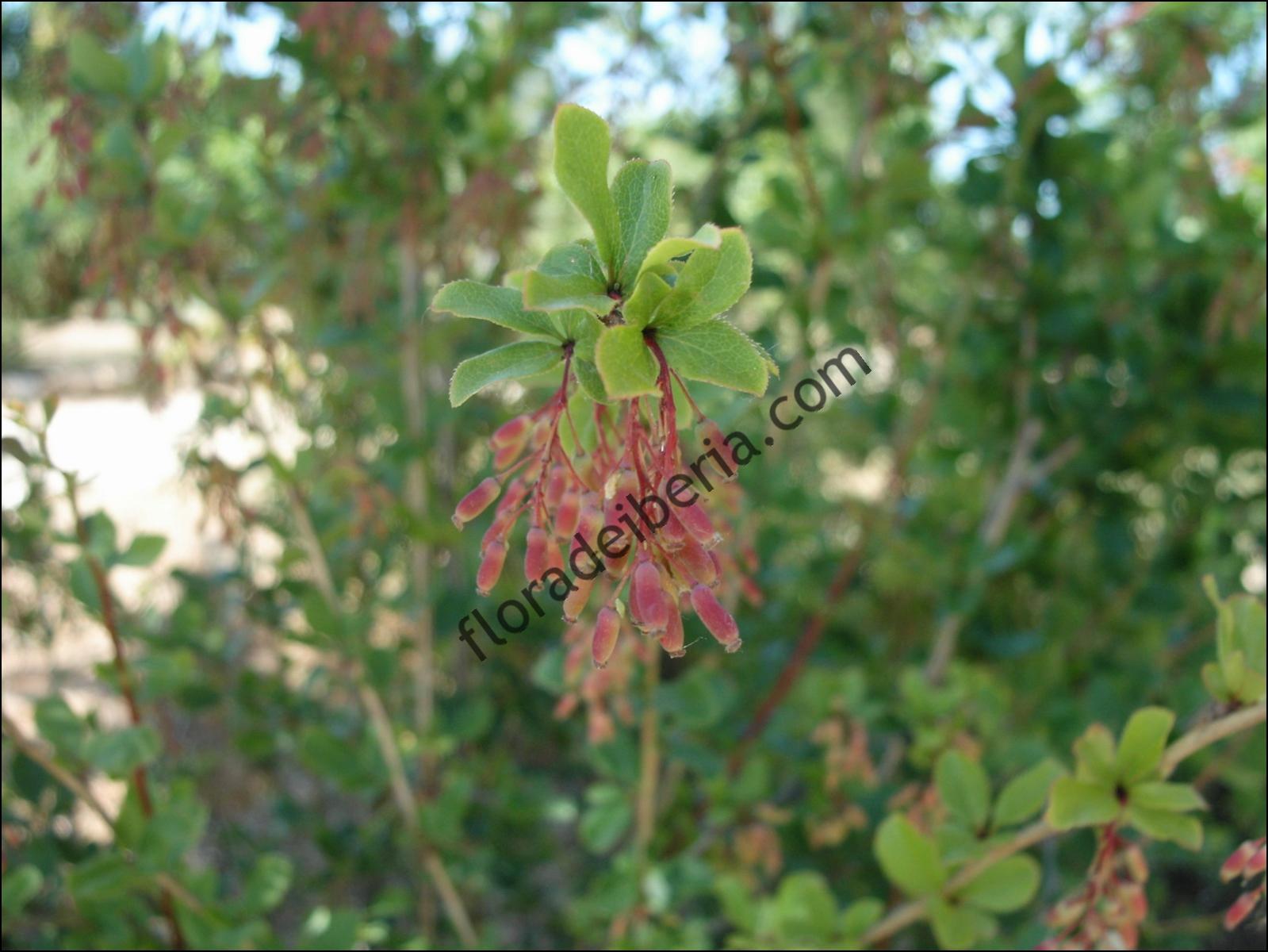 Berberis vulgaris3