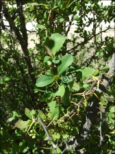 Berberis hispanica2