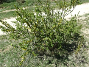 Berberis hispanica3