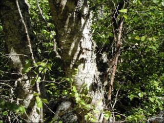 Betula alba4