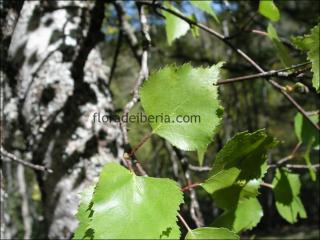 Betula alba1