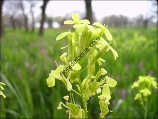 Biscutella auriculata2
