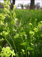Biscutella auriculata4