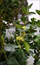 Buxus sempervirens12
