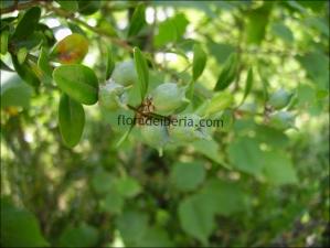 Buxus sempervirens14
