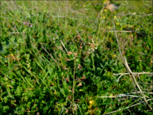 Capsella bursa-pastoris1