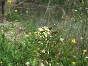 Capsella bursa-pastoris3
