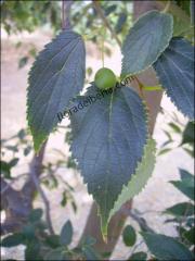 Celtis australis1