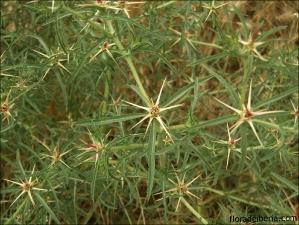 Centaurea calcitrapa2