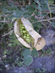 Colutea arborescens1