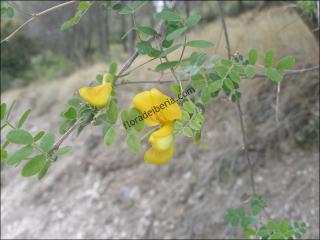 Colutea arborescens3