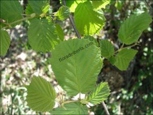 Corylus avellana2
