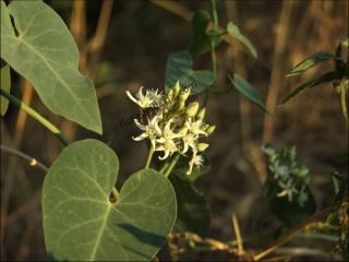 Cynanchum acutum1