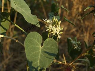 Cynanchum acutum2