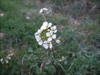 Diplotaxis erucoides2