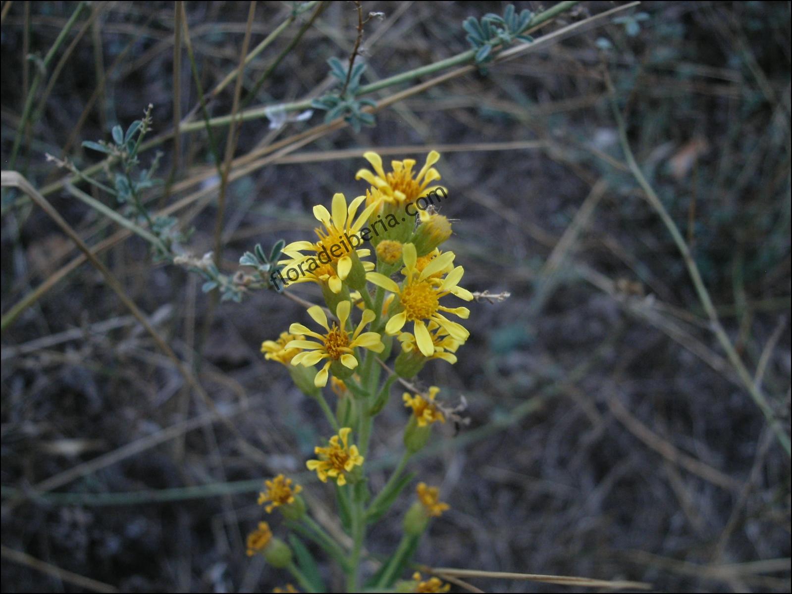 Dittrichia viscosa4