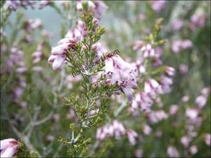 Erica australis1