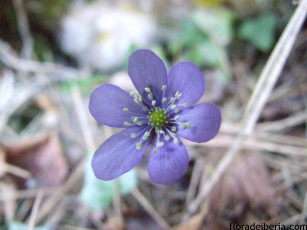 Hepatica nobilis (1)