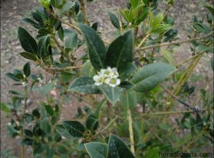 Ilex aquifolium14