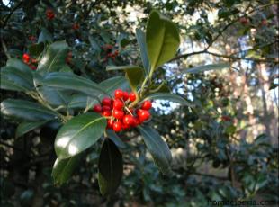 Ilex aquifolium15