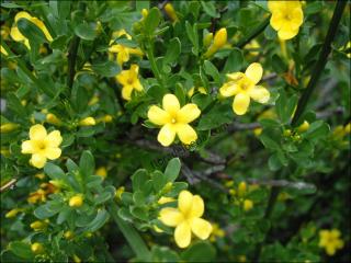 Jasminum fruticans1