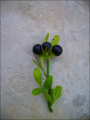 Jasminum fruticans6