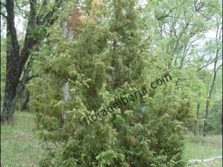 Juniperus communis5