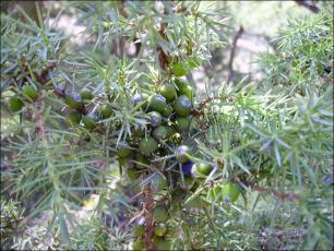 Juniperus communis1