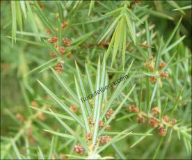 Juniperus communis3
